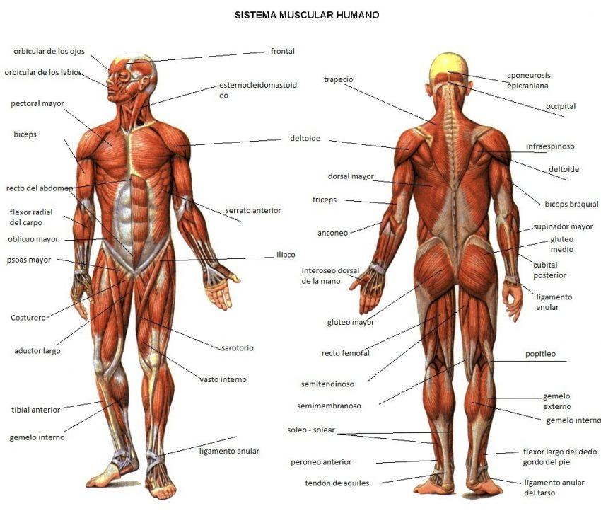 articulaciones huesos tendones - La Herboristería de Mamica